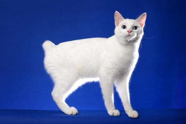 A snow white Japanese Bobtail on a blue background