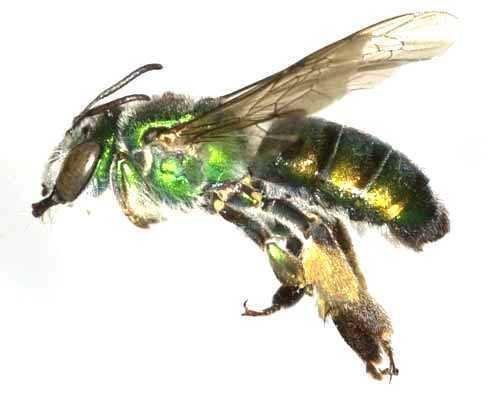 Types of bees: Bee representative of the family Stenotritidae found in Australia