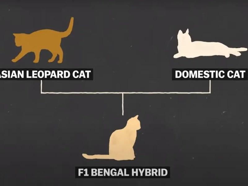 Bengal cat character, origin, qualities, size and curiosities.
