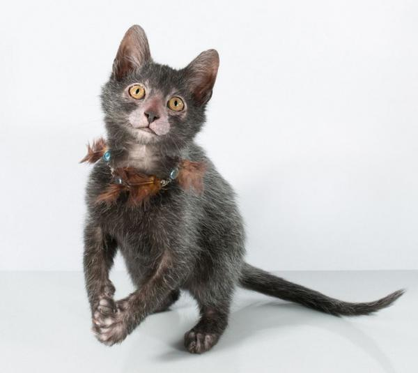 The Lykoi cat with a warewolf appearance jumping while looking at the camera, most intelligent cat breeds.