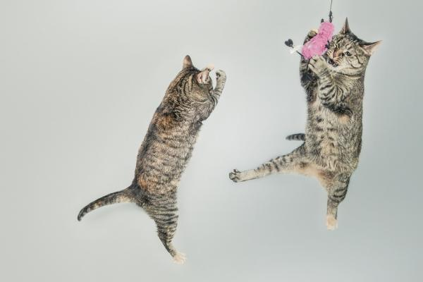 Strange cat behaviors: Two Tabby cats jumping in the air, one of them catches a toy