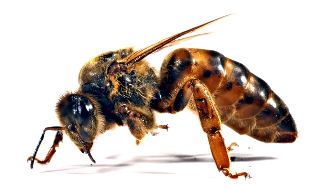Close-up picture of a bee. Important facts about bees.