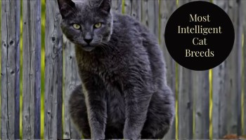 Most intelligent cat breeds.