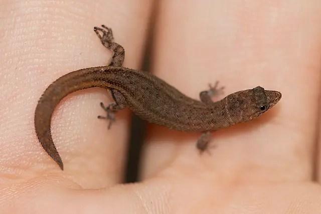 Jaragua Gecko - Smallest Lizard in the World.