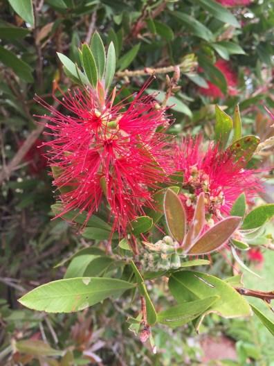 Bottlebrush flower Australia Blue Mountains