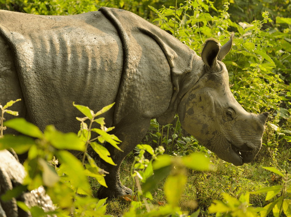 A Greater One-horned Rhinoceros in an National Park in India