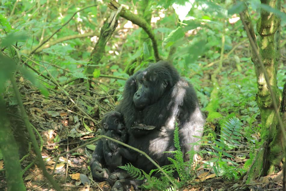 mountain gorilla mother holding a baby in the bushes on an gorilla trek