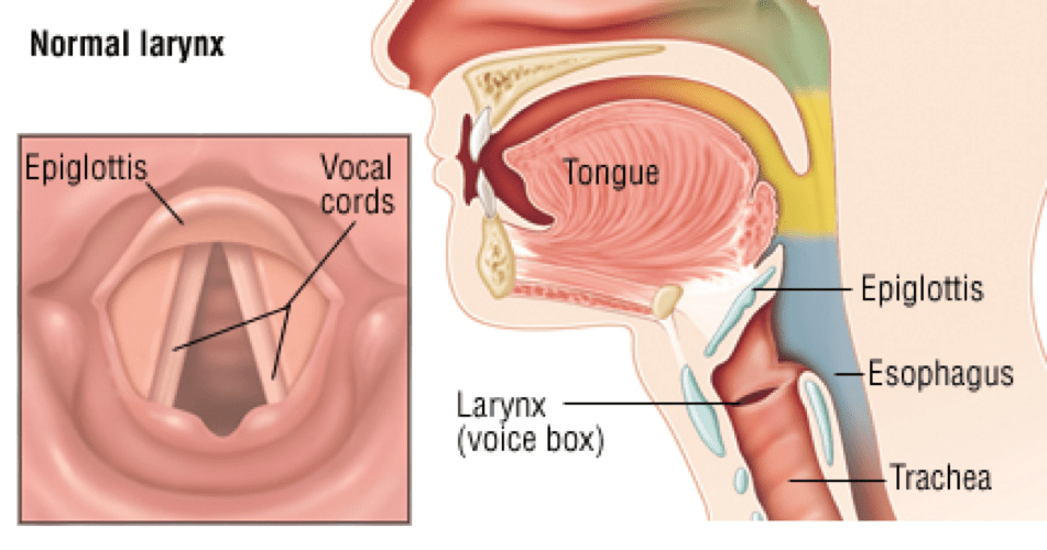 vocal structure