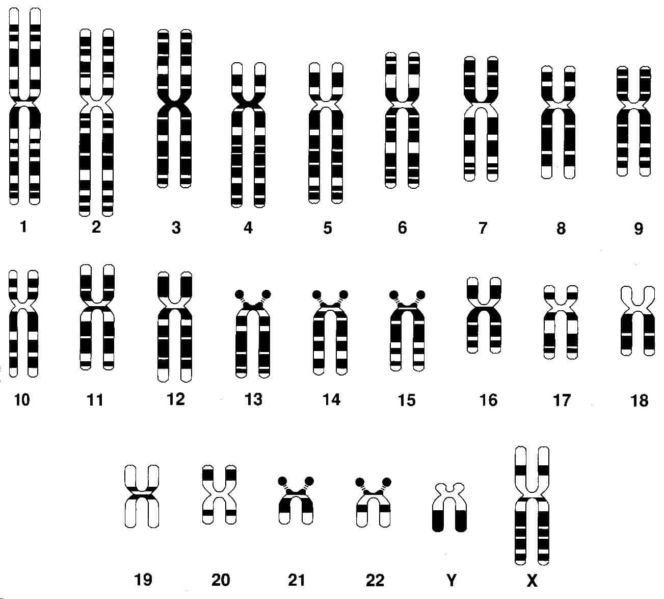 Cuantos Cromosomas Tienen Los Humanos Curiosoando