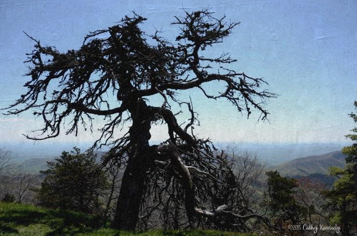 DSC_4578 gnarled tree