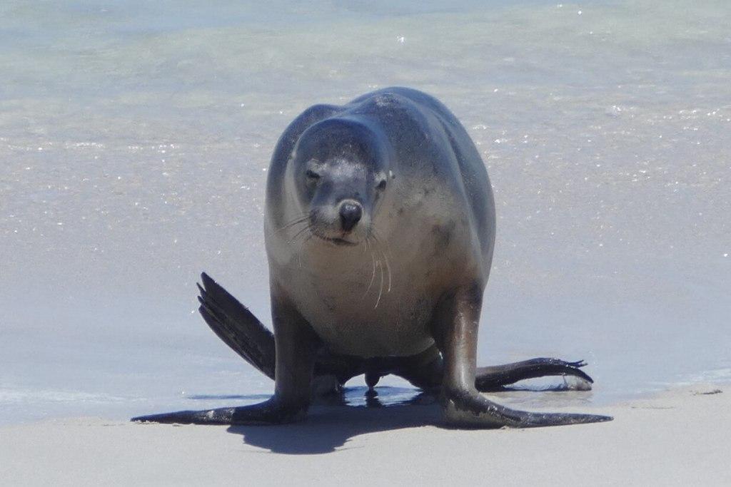 Kangaroo Island – Seal Bay and other Wildlife