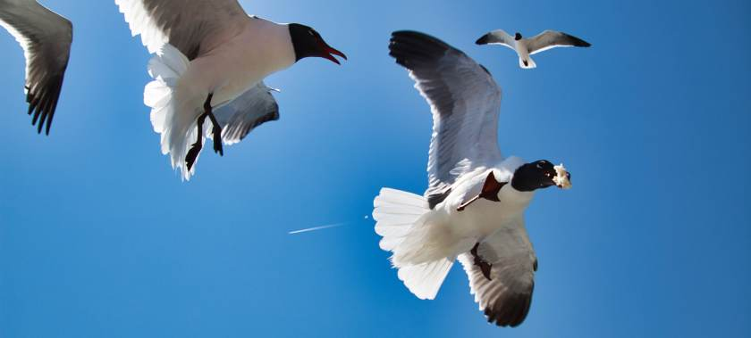 Feeding Laughing Gulls bread