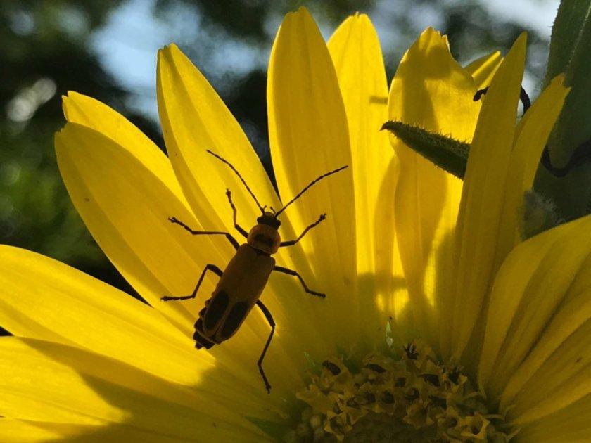 Indiana - Firefly-flower.jpg