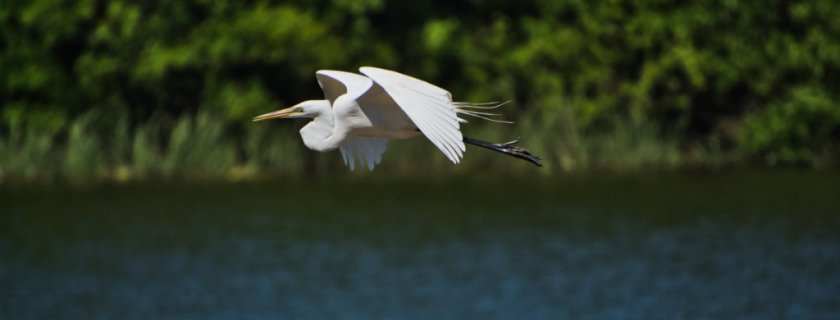 Curious Craig - Great-Egret.jpeg