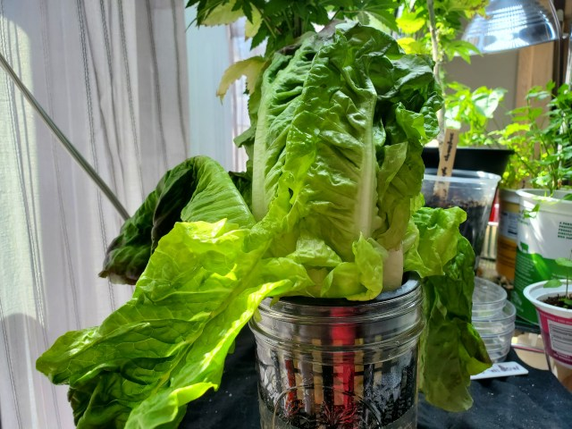 Drooping lettuce