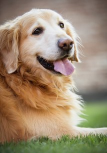 Happy golden retriever dog with tongue out
