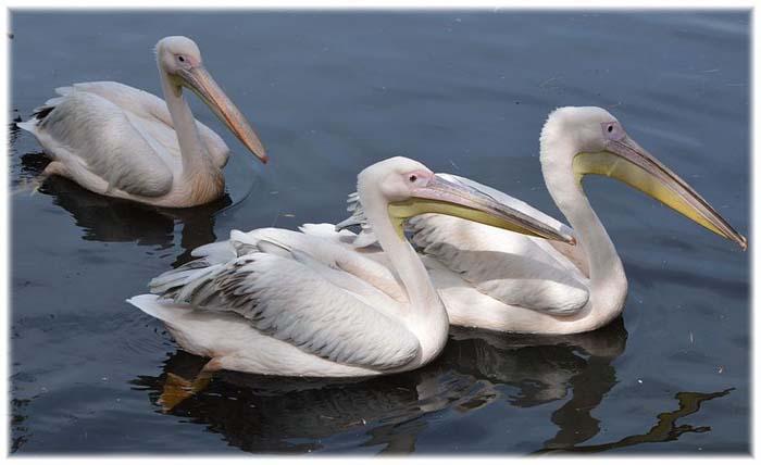 Pelican 04