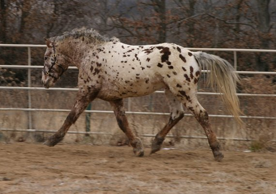 Professional Photos of a rare Bashkir Curly Stallion with Leopard Appaloosa Coloring AAAG-