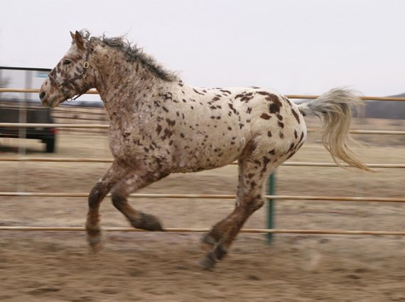 Professional Photos of a rare Bashkir Curly Stallion with Leopard Appaloosa Coloring AI-35