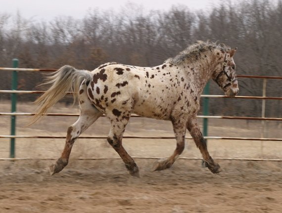Professional Photos of a rare Bashkir Curly Stallion with Leopard Appaloosa Coloring Y-25