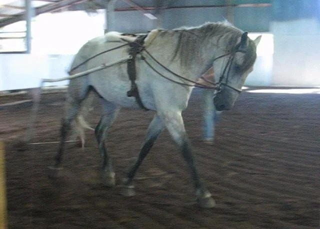 A horse with ewe neck being long lined with side rein