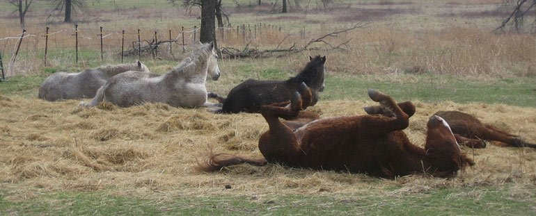 Horses DON'T sleep like this! The brown horse in the foreground is mid-roll, giving the appearance that she's sleeping on her back.