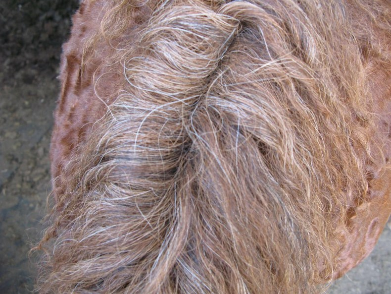 Instead of sweeping down one side or another, some horse's manes split down the middle- like in the case of the mane of this strawberry roan mare.