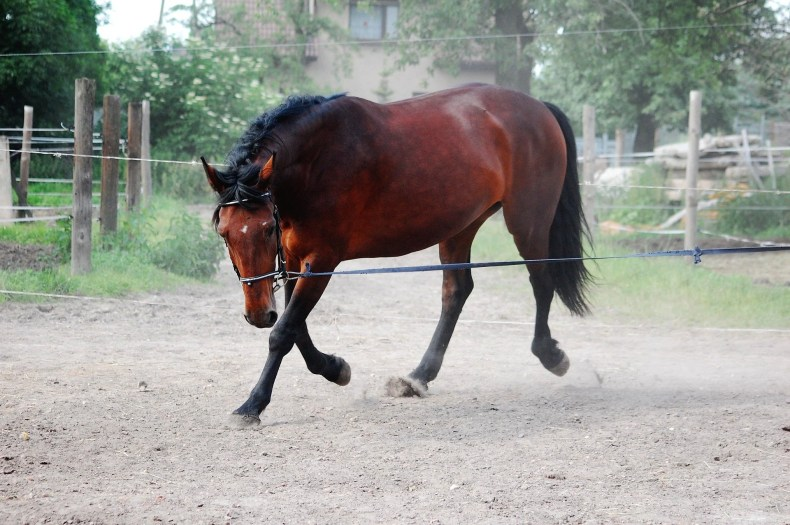 Lunging a misbehaving horse gives you an upper hand, as you'll have more endurance to continue the training session until the horse chooses to enter the arena