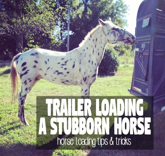 loading a horse that won't step onto the trailer