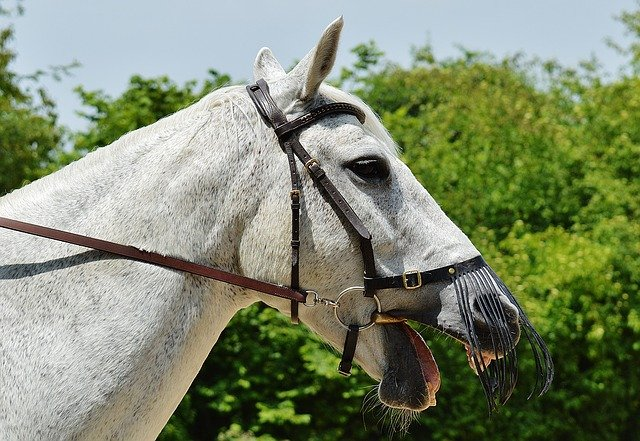 Bit discomfort often begins to show through head tossing and mouth opening during riding, as the horse attempts to avoid bit-related pain
