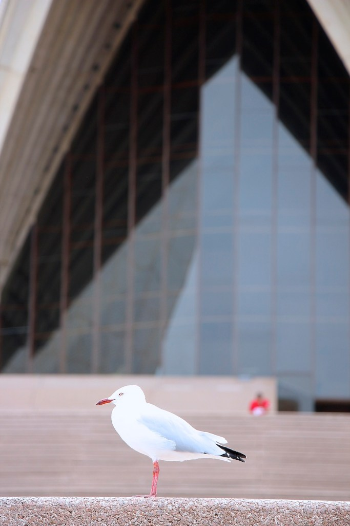 Seagull in front of Sydney Opera House |curlytraveller.com