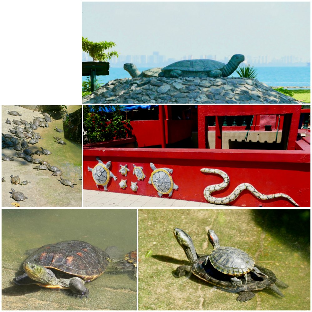 Lots of turtles at Kusu Island |curlytraveller.com