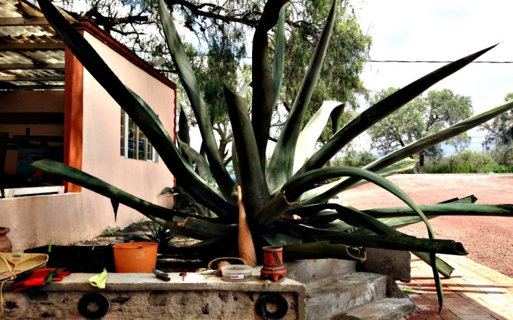 Agave , the plant used to produce alcohols such as tequila and mezcal