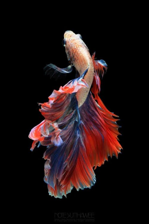 Betta fish Doble Tail