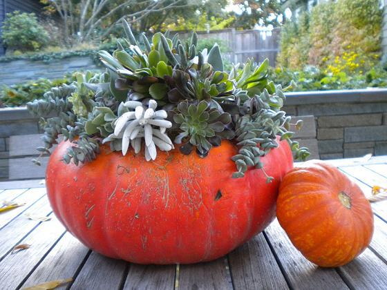 Sedum Pumpkin