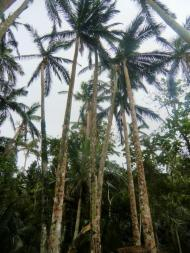 Yaeyama Palm Colony, 米原のヤエヤマヤシ群落, Yonehara, Palmenwald, palm tree, Palmenkolonie, tropical island, Tropeninsel, Ishigaki, 石垣島, Okinawa, 沖縄県, Japan