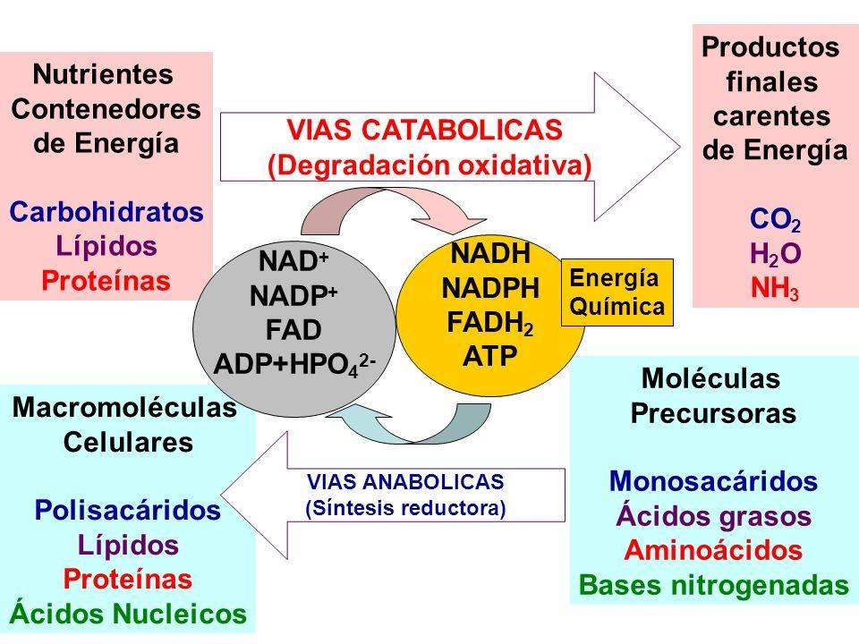 METABOLISMO CELULAR - Curso para la UNAM