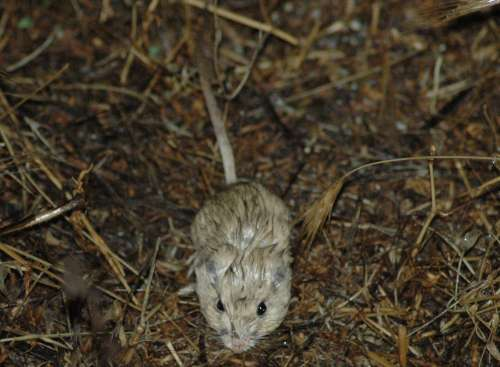 San Juaquin Pocket Mouse