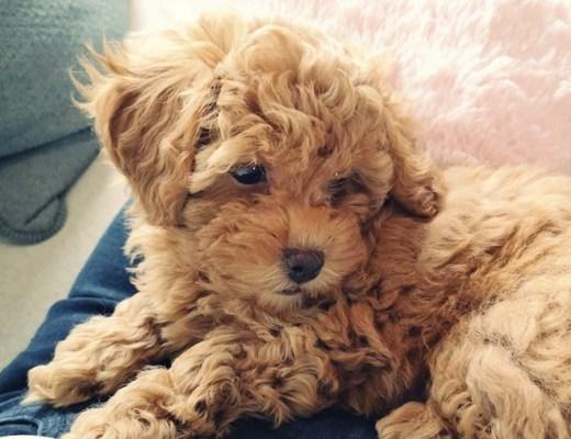 Puppy Coosje 7 maanden update