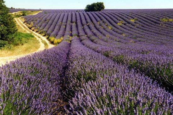 aromatherapie1 - Aromatherapie - Lavendel olie (+ recepten)