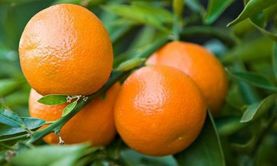 Aromatherapie - Mandarijnboom voor mandarijnolie