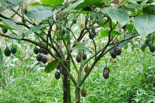 brazil-nut-paranoot-4