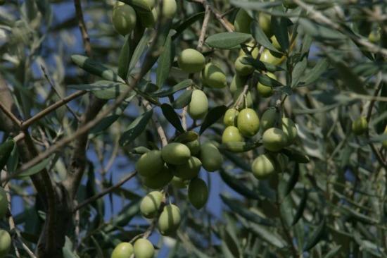 groene olijven - Basisoliën