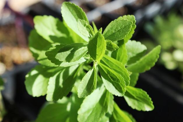 Stevia (honingkruid) + recept