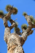 Joshua Tree, up close and personal