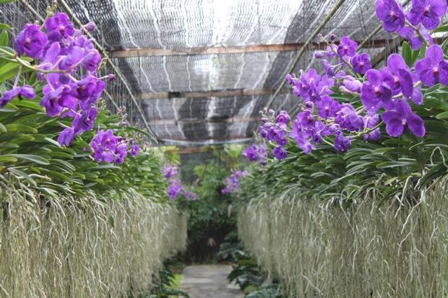 Discover the Siriporn Orchid Farm in Pattaya