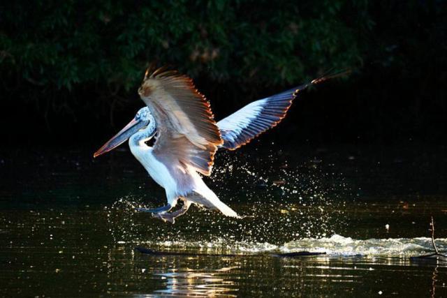 ranganathittu bird sanctuary, india, bangalore, pelican