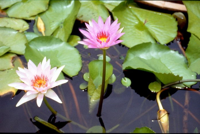 guanyin lotus ranch, taoyuan, tw