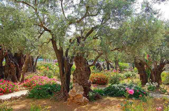 garden of gethsamane, israel, jerusalem