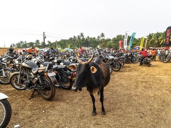 Indien hat eine vielfältige Tierwelt. Nicht nur Kühe tauchen an jeder Ecke auf ...